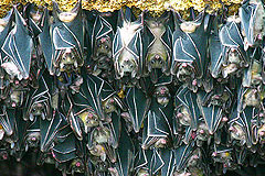 Samal Island Fruit Bats Largest Colony Guinness World Records